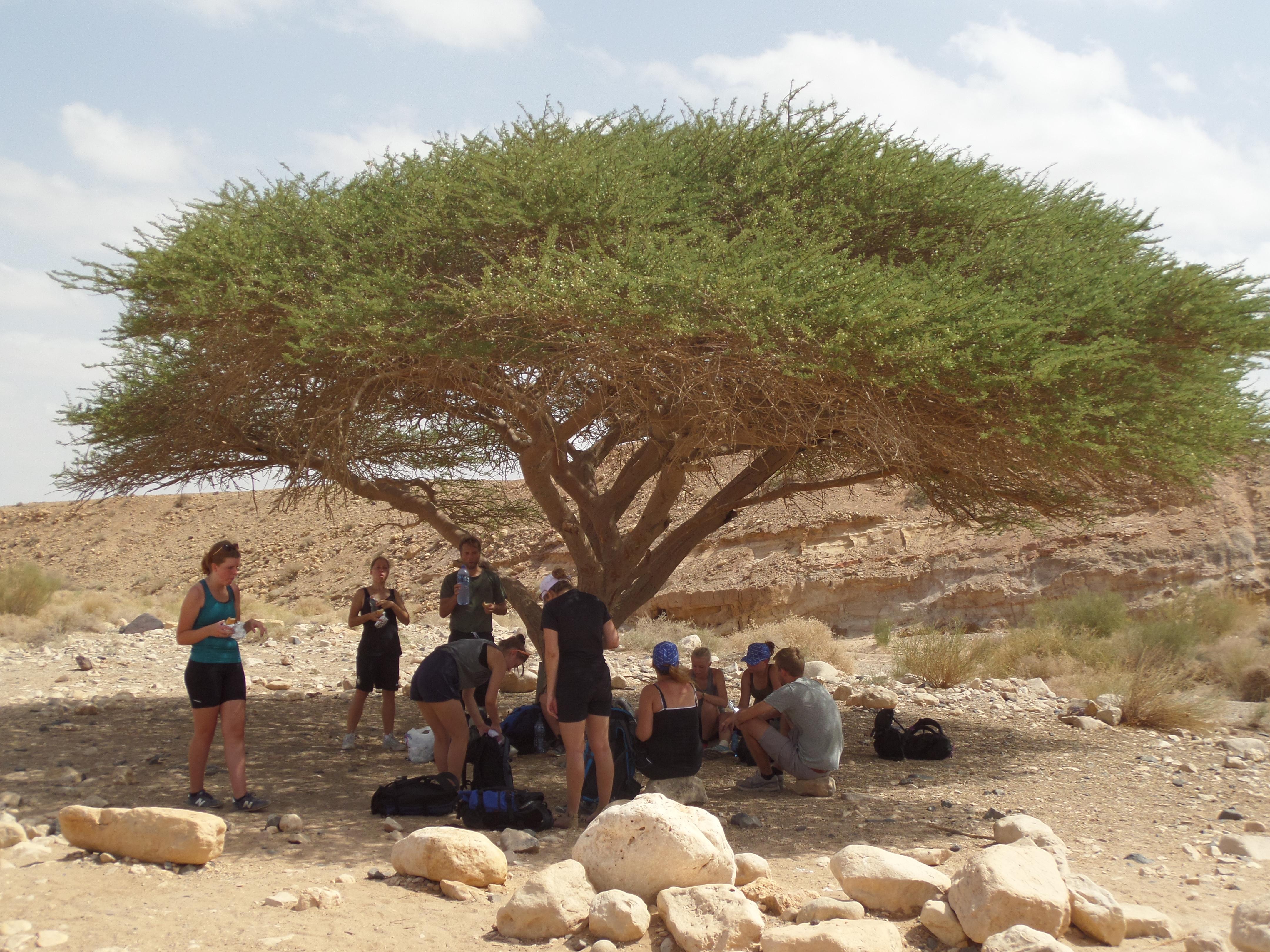 Et af de eneste træer i Makhtesh Ramon