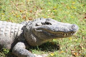 Krokodille i Hamat Gader